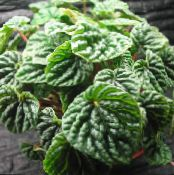 Radiator Plant, Watermelon Begonias, Baby Rubber Plant, Peperomia photo dark green