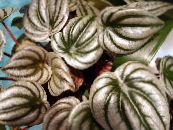 Radiator Plant, Watermelon Begonias, Baby Rubber Plant, Peperomia photo silvery