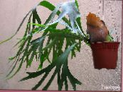 Staghorn Fern, Elkhorns green Herbaceous Plant
