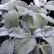Swedish Ivy silvery Shrub