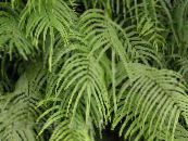 Pteris green Herbaceous Plant