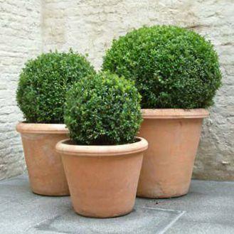 самшит растение как комнатное отзывы противопоказания приему