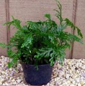 Selaginella green Herbaceous Plant