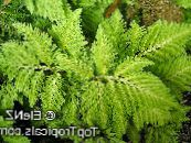 Selaginella light green Herbaceous Plant