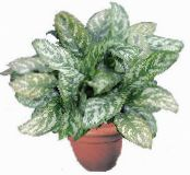 Aglaonema, Silver Evergreen motley Herbaceous Plant