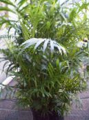 Bamboo palm green Shrub