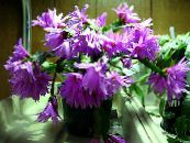 Easter Cactus lilac