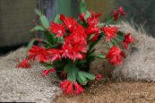 Easter Cactus red