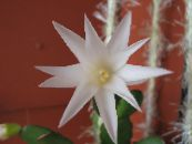 Easter Cactus white
