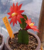 Drunkards Dream red Wood Cactus