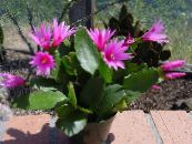 Drunkards Dream pink Wood Cactus