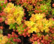 Sedum yellow Succulent