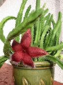 Carrion Plant, Starfish Flower, Starfish Cactus red Succulent