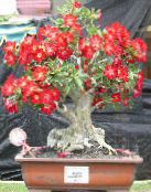 Desert Rose red Succulent
