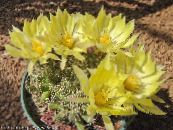 Old lady cactus, Mammillaria yellow