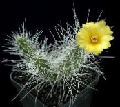 Indoor plants Tephrocactus photo yellow