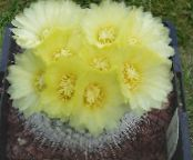 Ball Cactus yellow