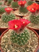 Tom Thumb red Desert Cactus