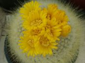 Tom Thumb yellow Desert Cactus