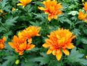 Florists Mum, Pot Mum orange Herbaceous Plant