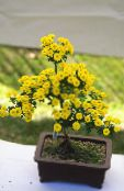 Florists Mum, Pot Mum yellow Herbaceous Plant