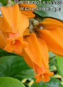 Gold Finger Plant orange Shrub