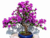Paper Flower lilac Shrub