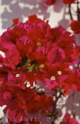 Paper Flower red Shrub