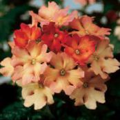 Verbena orange Herbaceous Plant