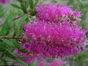 Bottlebrush lilac Shrub
