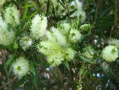 Bottlebrush white Shrub
