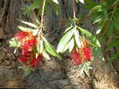 Bottlebrush red Shrub