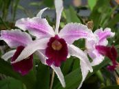 Laelia pink Herbaceous Plant
