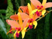 Laelia orange Herbaceous Plant