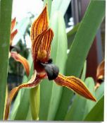 Coconut Pie Orchid orange Herbaceous Plant
