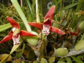 Coconut Pie Orchid red Herbaceous Plant