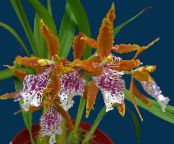 Tiger Orchid, Lily of the Valley Orchid orange Herbaceous Plant