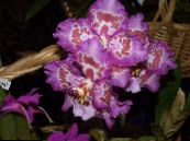 Tiger Orchid, Lily of the Valley Orchid lilac Herbaceous Plant
