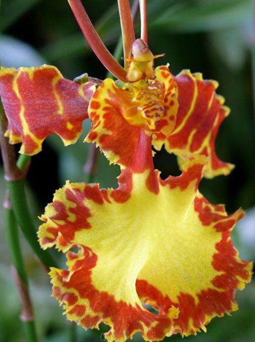 omplantning af orkideer