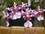Dancing Lady Orchid, Cedros Bee, Leopard Orchid lilac Herbaceous Plant