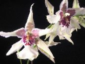 Dancing Lady Orchid, Cedros Bee, Leopard Orchid white Herbaceous Plant