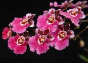 Dancing Lady Orchid, Cedros Bee, Leopard Orchid pink Herbaceous Plant