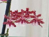 Dancing Lady Orchid, Cedros Bee, Leopard Orchid red Herbaceous Plant