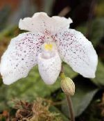 Slipper Orchids white Herbaceous Plant