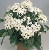 Pentas, Star Flower, Star Cluster white Herbaceous Plant