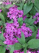 Pentas, Star Flower, Star Cluster lilac Herbaceous Plant