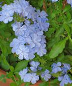 Leadworts light blue Shrub