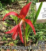 Aztec Lily, Jacobean Lily, Orchid Lily red Herbaceous Plant