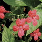 Monkey Plant, Red ruellia red