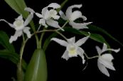 Coelogyne white Herbaceous Plant